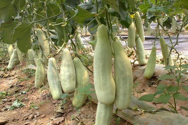 羊角甜瓜在什么时候种植比较好