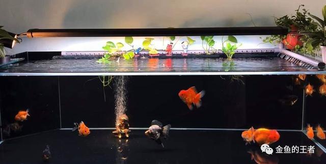 金鱼在水温零度一下能否存活
