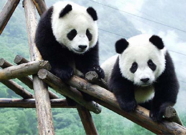 """新冠疫情致竹子供应链崩溃,加拿大动物园大熊猫恐""""断粮"""""""