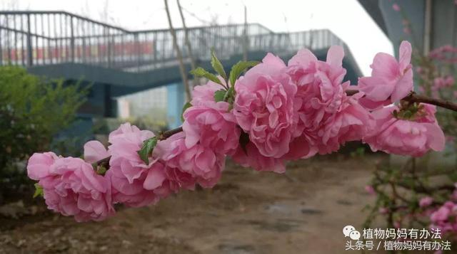 榆叶梅是不是梅花的一种
