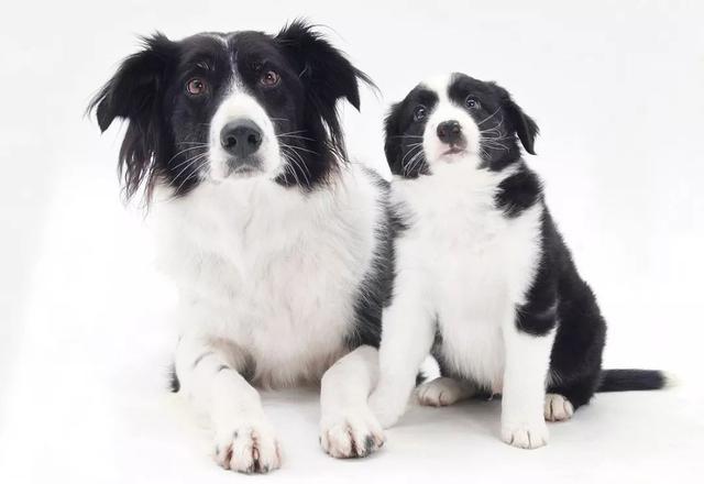 狗的交配繁殖是怎样进行的
