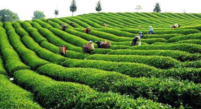 怎么泡正山小种红茶?