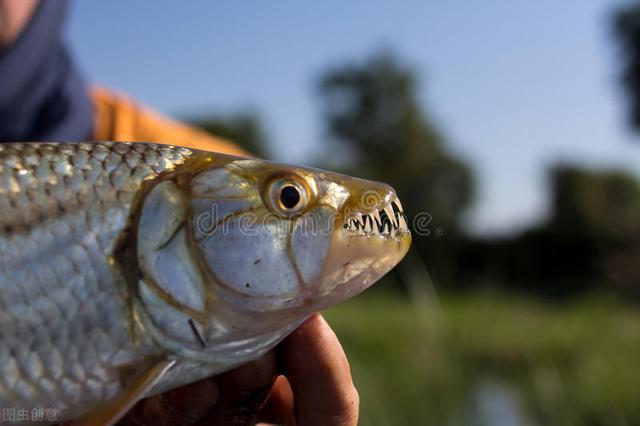 钓青鱼的饵料什么好