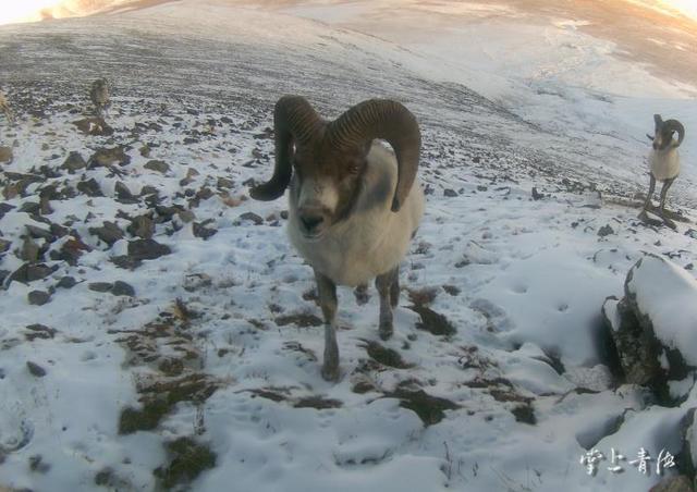祁连山国家公园青海片区成野生动物乐园