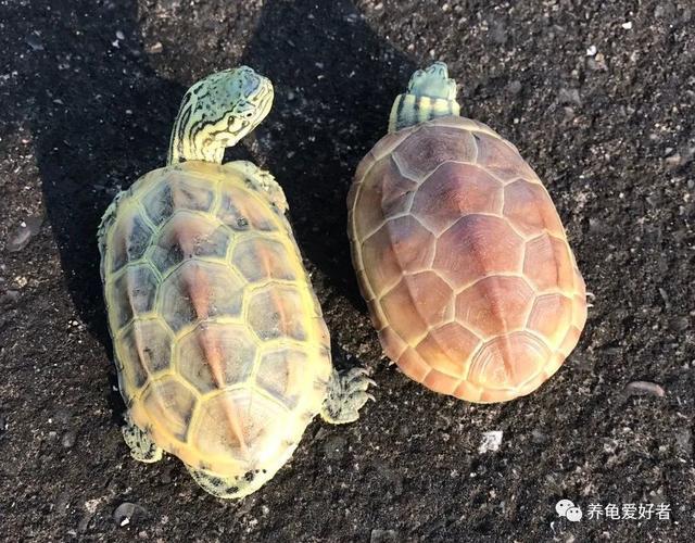 如何饲养乌龟