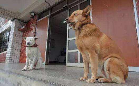 """为什么家狗不咬""""上门女婿""""?原因有三点"""
