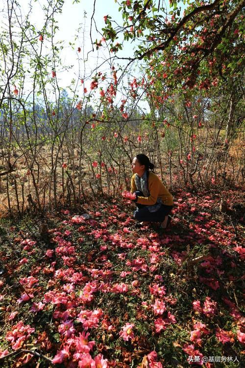 红花大果油茶树苗吗 嫁接的红花茶苗多少年开花结果