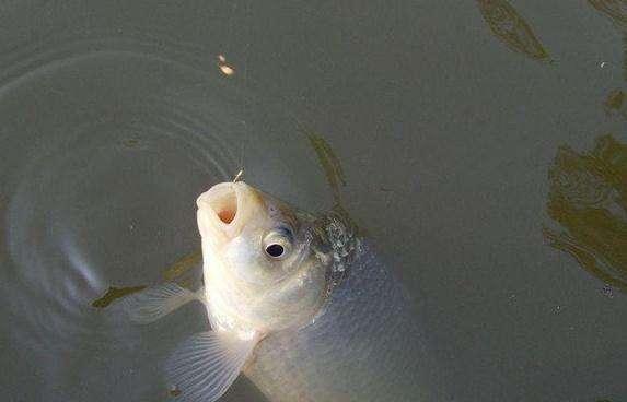 野外钓鱼,如何分辨鲫鱼、鲤鱼、鲢鱼、草鱼、青鱼的鱼泡?
