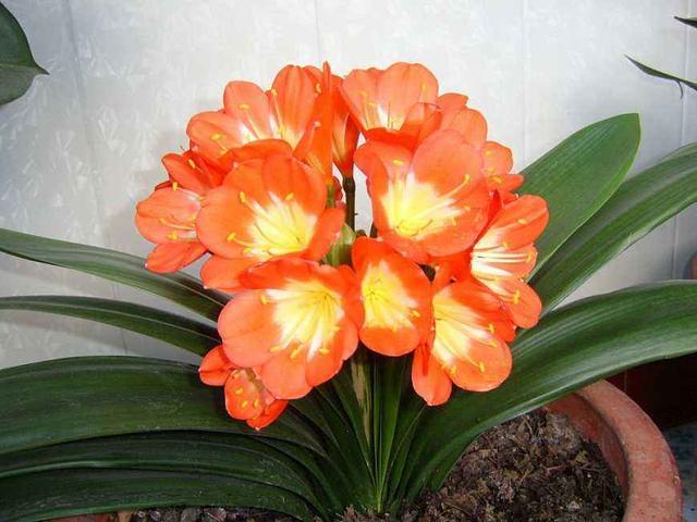君子兰什么时候开花啊,已经有十个叶了