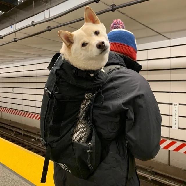 纽约地铁:禁止带狗,除非包里塞得下!于是,奇妙的风景线出现了