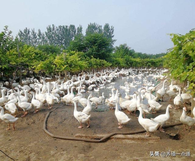 肉鹅养殖增效要点,饲料配制科学、牧圈结合