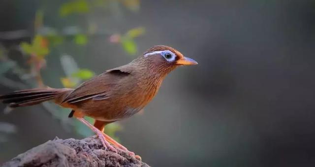 刚刚抓到一只画眉鸟,要怎么养呢