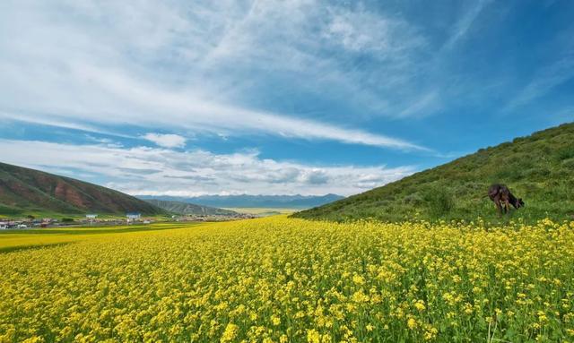7月,青海的油菜花开了