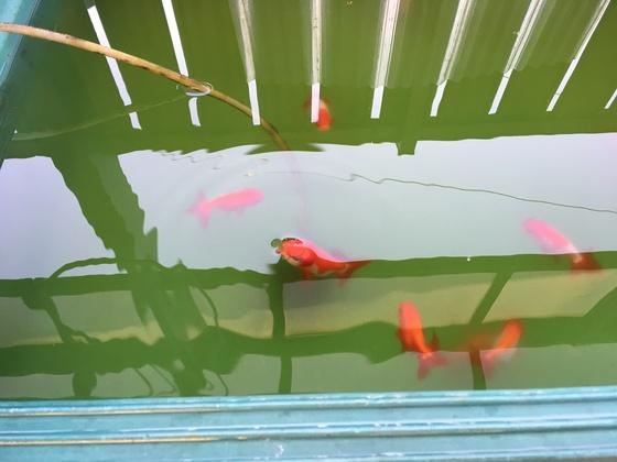 兰寿金鱼怎么养