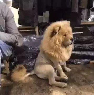 松狮和雄狮是一种狗吗