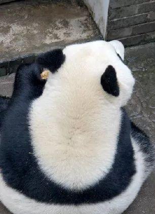 成都大熊猫繁育基地的上班族,身边是全宇宙的幸福
