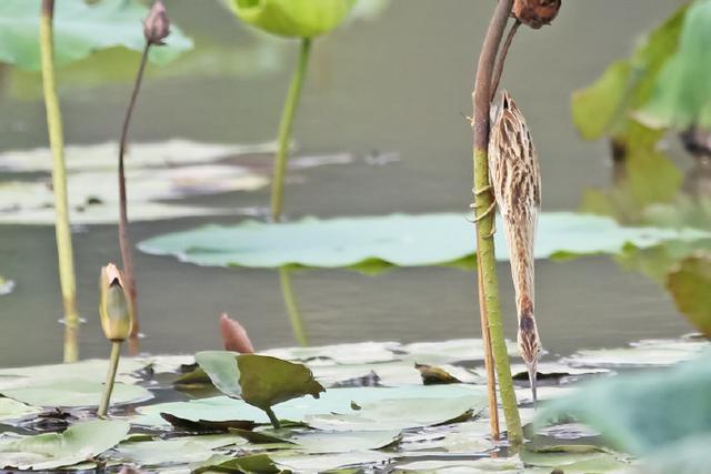 """动物界走路最""""欠揍""""的大佬,却是池塘上的杂技高手"""