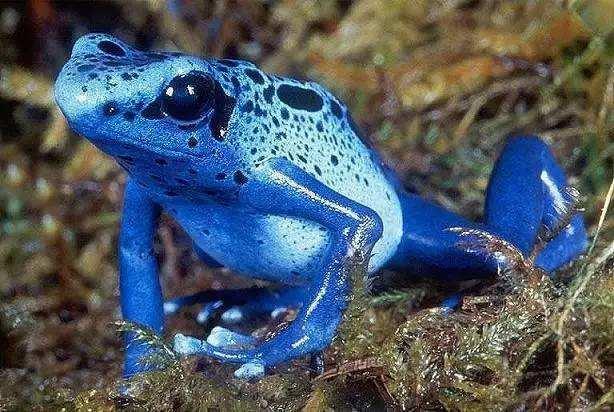 世界上最毒的蛙——钴蓝毒箭蛙,绚丽的外表中隐藏剧毒