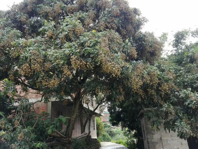 家乡的龙眼树作文500字