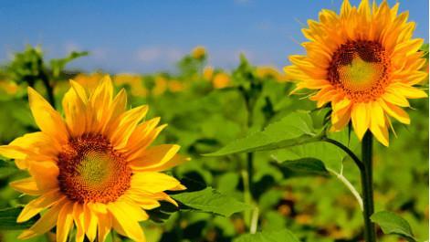 向日葵有什么含义