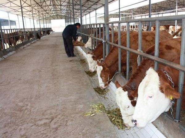 养牛吃木头和土是什么原因?