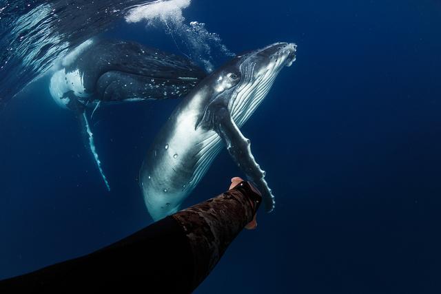 """摄影师潜水偶遇座头鲸母子 好奇""""鲸宝宝""""凑近与人类""""握手"""""""