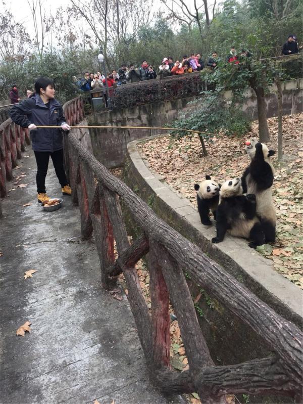 在成都饲养大熊猫的日本姑娘