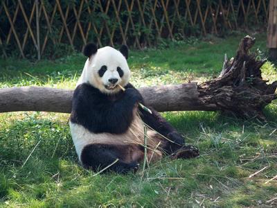 """中国旅加大熊猫遭遇""""断粮""""危机:竹子只能供到9月,提前回国旅程仍未成行"""