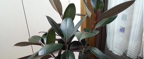 家里养的几株橡皮树如何分盆