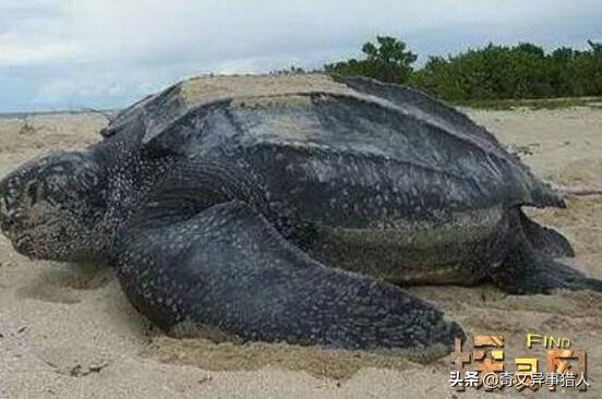 体型最大的海龟是什么龟