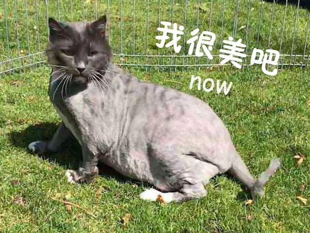 有人把被虐待的猫扔到医院门口,剃毛之后发现他真的帅炸了