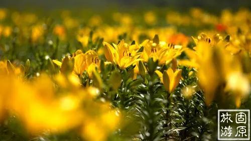 彭阳万亩梯田了不得,今天竟然拿一座山的百合花送人…