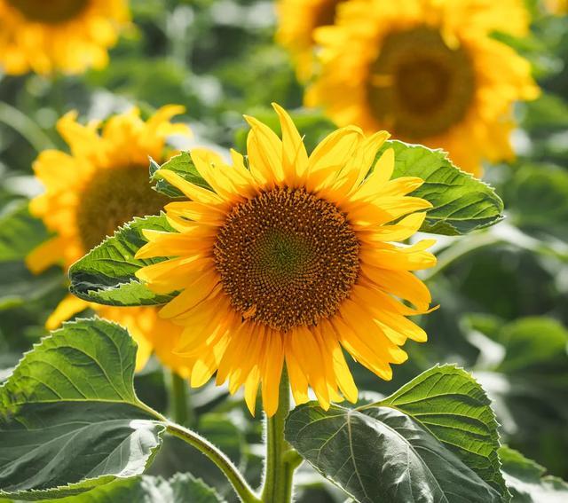 有向日葵种子但怎么样种最容易发芽呢