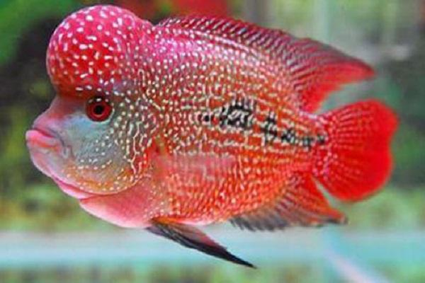 养的鱼哪种比较长寿