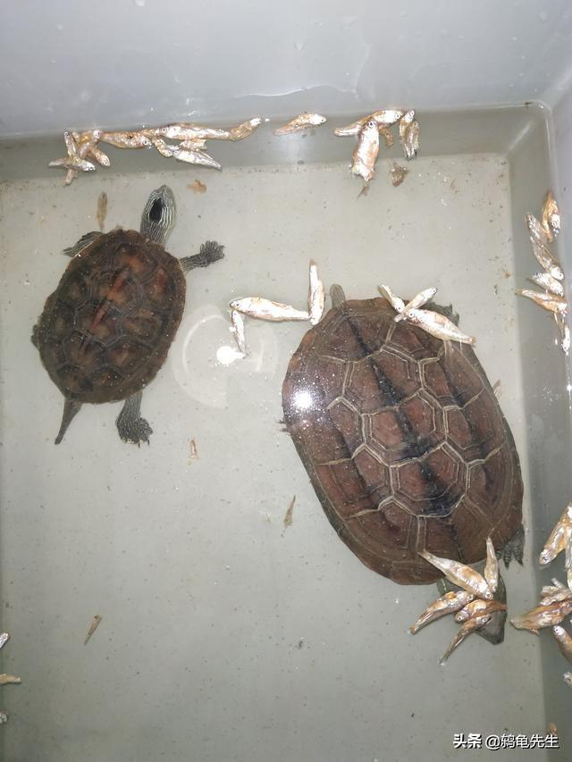 五厘米草龟一天喂几次