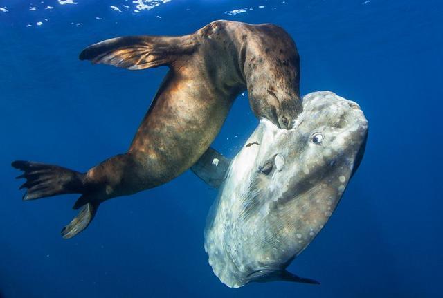 海洋界的生殖冠军,一次产卵可达3亿,如今却濒临灭绝