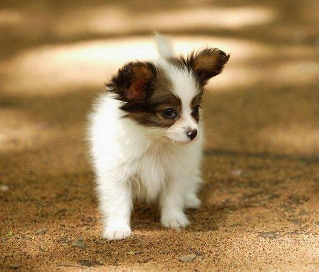 高智商的五大小型犬,看看你家狗狗有上榜吗?