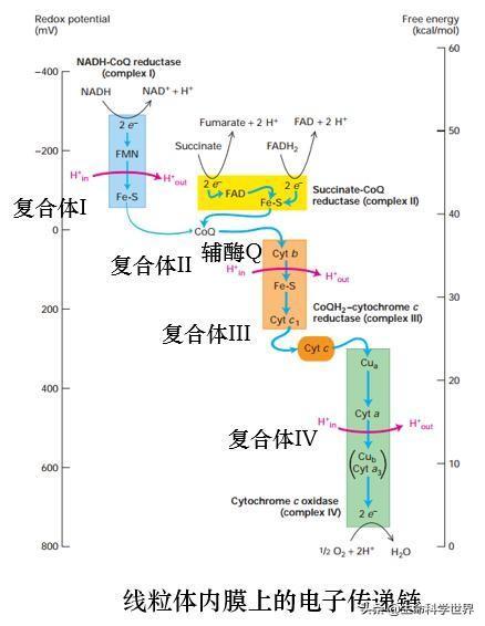 生物体内主要有哪两条重要的电子传递链