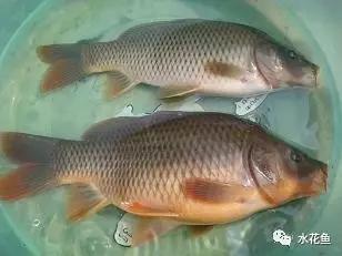确定主养鱼类和配养鱼类的方法
