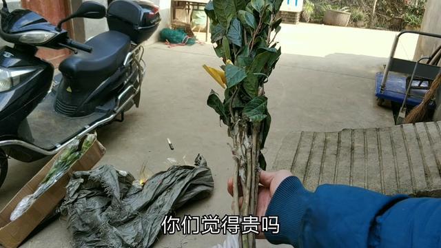 多大的红叶桃可以开花