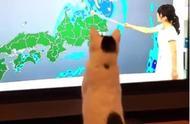 这只猫与众不同,把天气预报员当成逗猫师,这逗猫棒也太特别了!