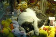去抓娃娃的时候发现了一台抓猫机 真的有猫哦