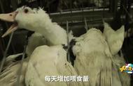 顶级鹅肝最快速的养殖法,如此残忍地不择手段,却超级美味易赚钱