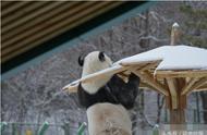 南方大熊猫第一次见到北方大雪,竟不顾反对做出这事儿,看懵众人