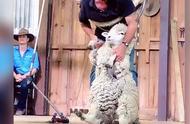 绵羊剪毛教程~