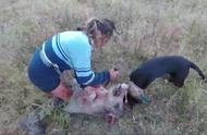 国外野猪泛滥成灾,在我们这里得多少钱一斤?