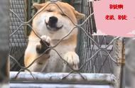 柴犬狗狗卖萌起来到底有多可怕?网友:这是什么神仙颜值?