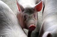 甘肃省岷县发生非洲猪瘟疫情,猪价是否会暴涨?