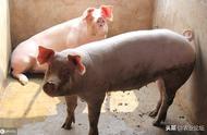 """猪价连续""""五连降"""",是不是涨到头了?"""