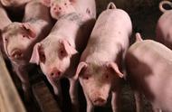 持续下跌,多省猪价2天跌超1元,为何零售猪肉价格变化并不大?